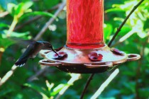 Birding.HummingbirdFeederinTree (21)