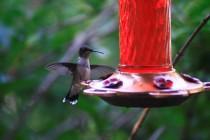 Birding.HummingbirdFeederinTree (41)