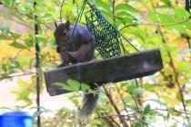 SquirrelRaidingBirdFeeder (3)